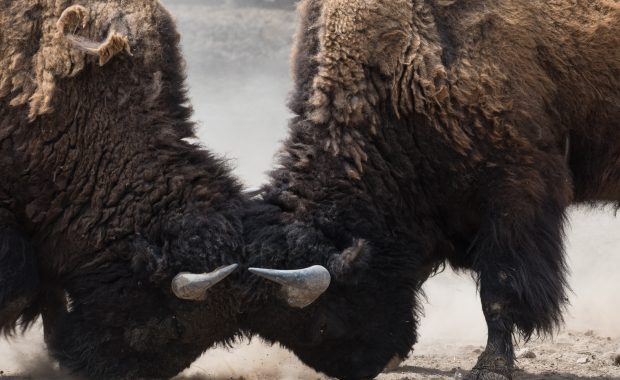 Two bison in head to head conflict